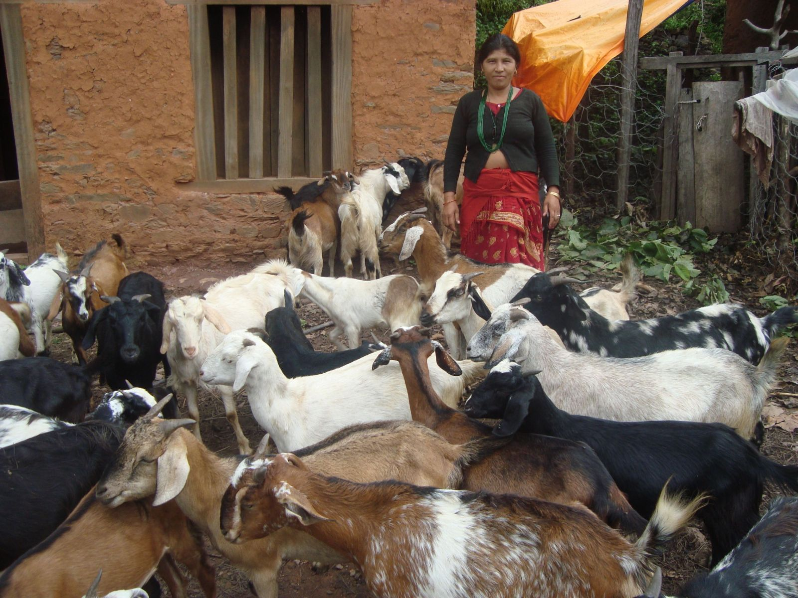 Story Cycle - Small But Smart to Raise Income-Goat Farming Good Farming